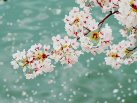 韩国的春天是各种花绽放的季节